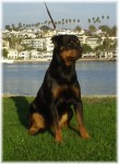 German Rottweilers from top German lines. These rottweiler puppies will be top quality with an exceptional German pedigree