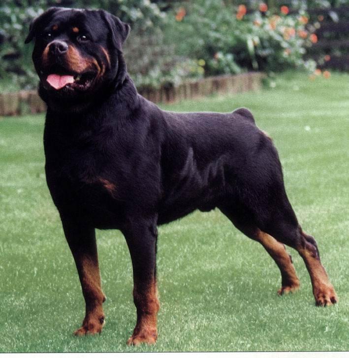 سگ رودفايلر
